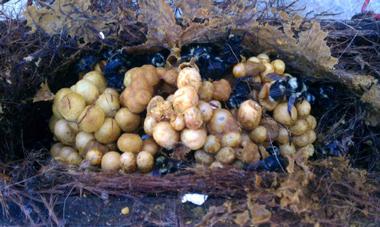 IDFG Ile-de-France nid de bourdons