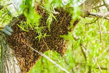 IDFG Ile-de-France essaim d'abeilles